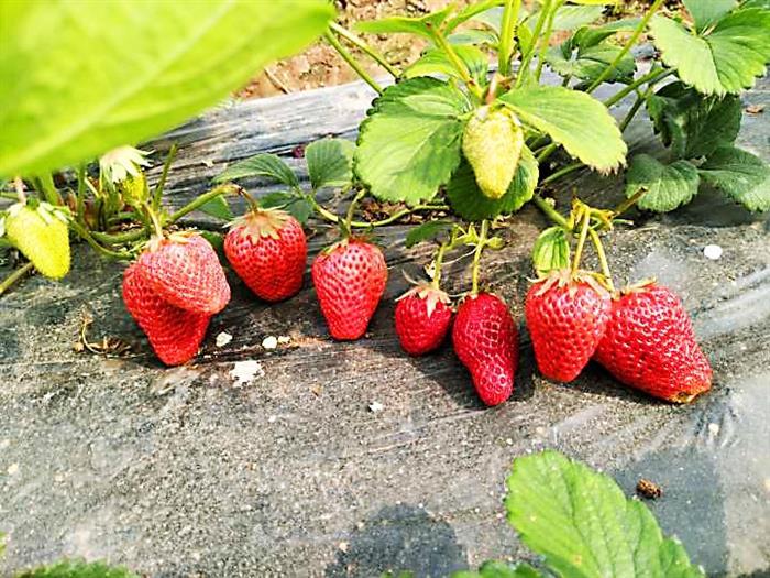 美丽田园风,采莓正当时——资阳部与南充部联谊活动